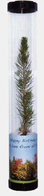 REAL LIVE SPRUCE TREE SAPLING in Clear Tube.