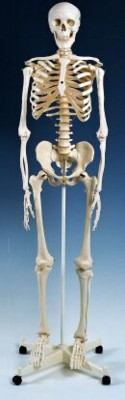 Picture of BASIC ANATOMICAL SKELETON MODEL