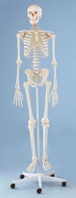 Picture of TEACHING ANATOMICAL SKELETON MODEL