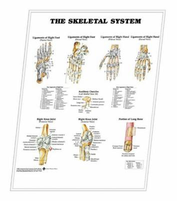 Picture of 3D ANATOMICAL CHART THE SKELETAL SYSTEM