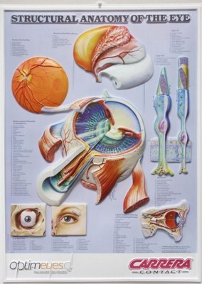 Picture of 3D ANATOMICAL CHART STRUCTURAL ANATOMY OF THE EYE