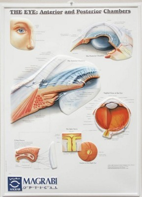 Picture of 3D ANATOMICAL CHART THE EYE - Anterior And Posterior Chambers