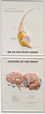 Picture of 3D ANATOMICAL CHART ANATOMY OF THE BRAIN