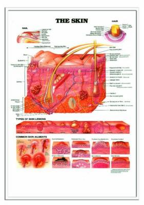 Picture of 3D ANATOMICAL CHART THE SKIN AND COMMON DISORDERS