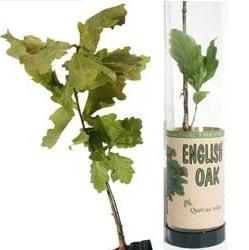 Picture of REAL LIVE OAK TREE SAPLING in Clear Tube