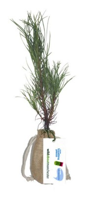 Picture of REAL LIVE SCOTS PINE TREE in a Hessian Sack