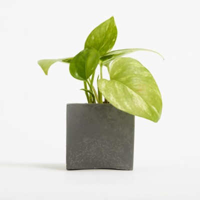 Picture of SMALL CONCRETE POT - DEVILS IVY - BATTLESHIP