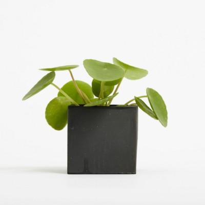Picture of SMALL CONCRETE POT - MONEY PLANT - SPACE