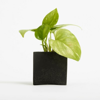 Picture of SMALL CONCRETE POT - DEVILS IVY - SPACE